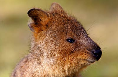 Quokka, Rottnest Island, Australien