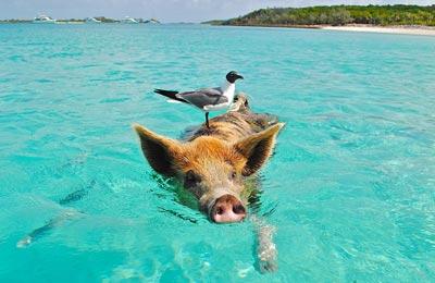 Schwimmende Schweine, Bahamas
